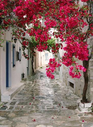 Tuinposter Griekse Straat Met Rose Rood Bloeiende