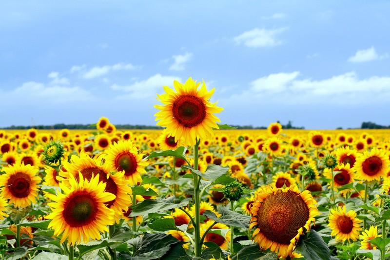 Afbeeldingsresultaat voor zonnebloemen