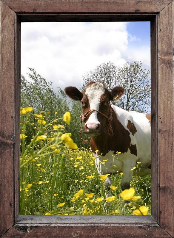 tuinposter 39 koe in het raam links 39 teun 39 s tuinposters. Black Bedroom Furniture Sets. Home Design Ideas